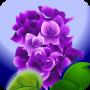 一株紫丁香